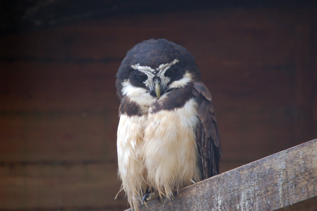 Image of Spectacled Owl