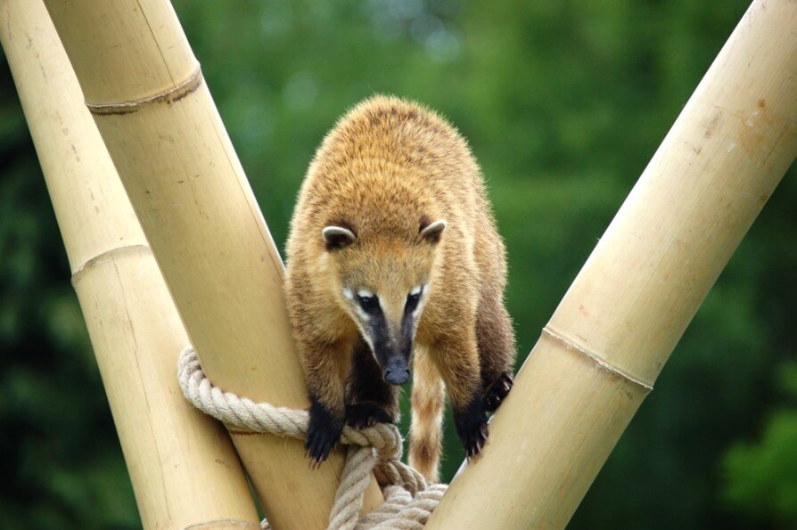 Image of Brown-nosed Coati