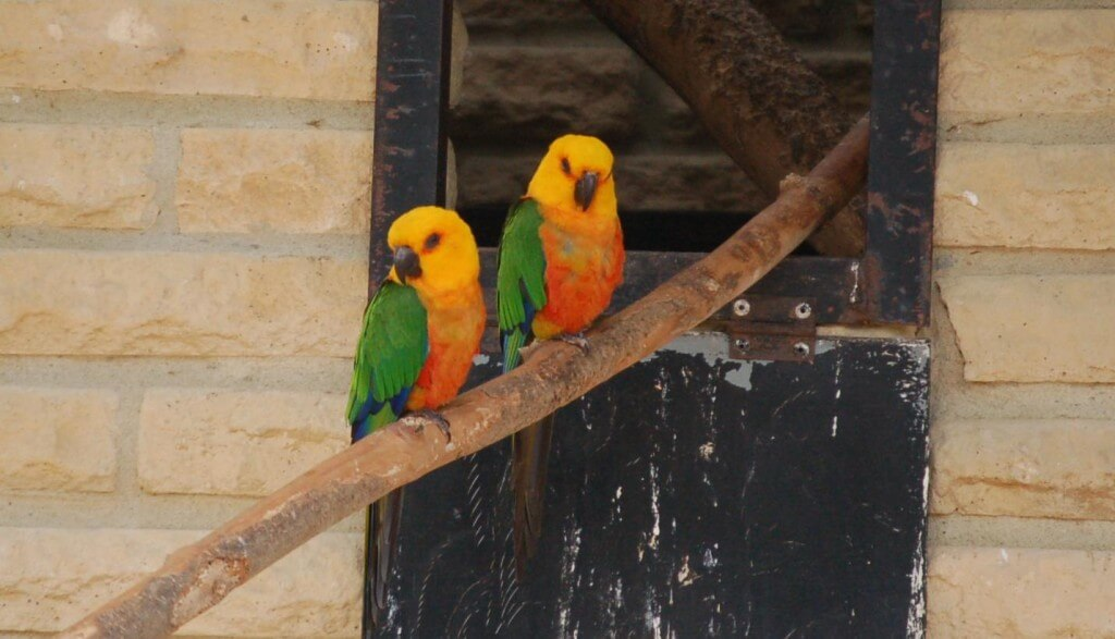 Image of Jenday Conure
