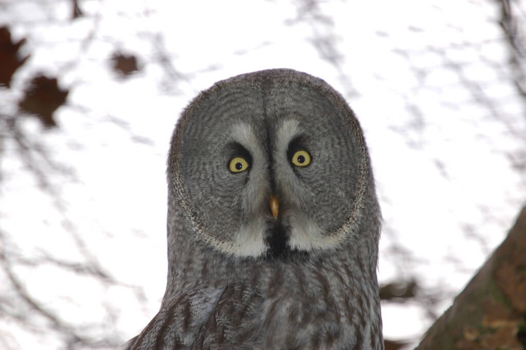 Image of Great Grey Owl
