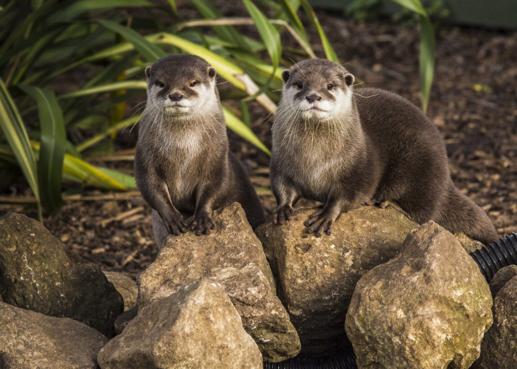 Image of Asian Short-clawed Otter