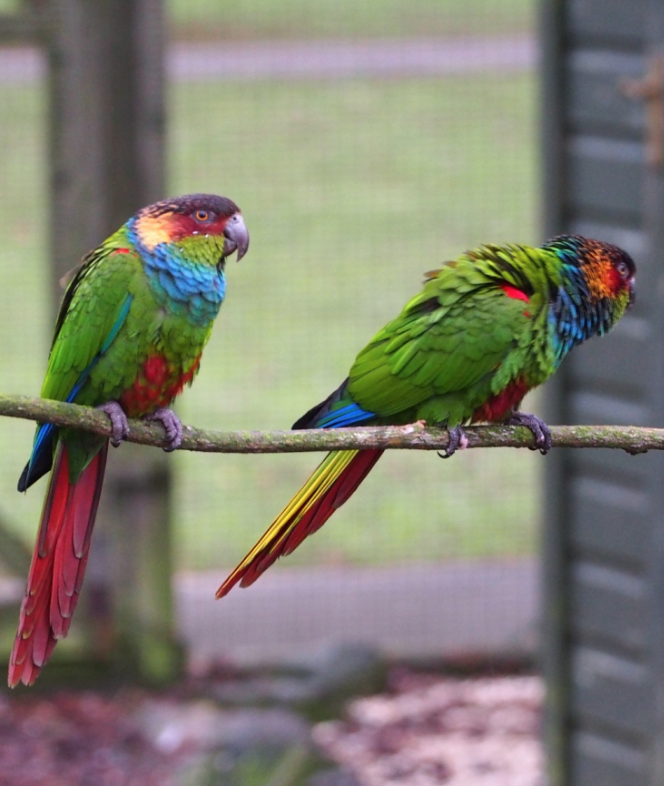 Image of Blue-throated Conure