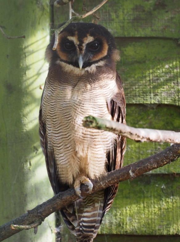 Image of Brown Wood Owl