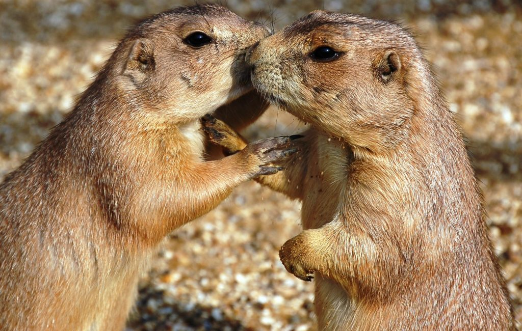 Image of Black-tailed Prairie Dogs