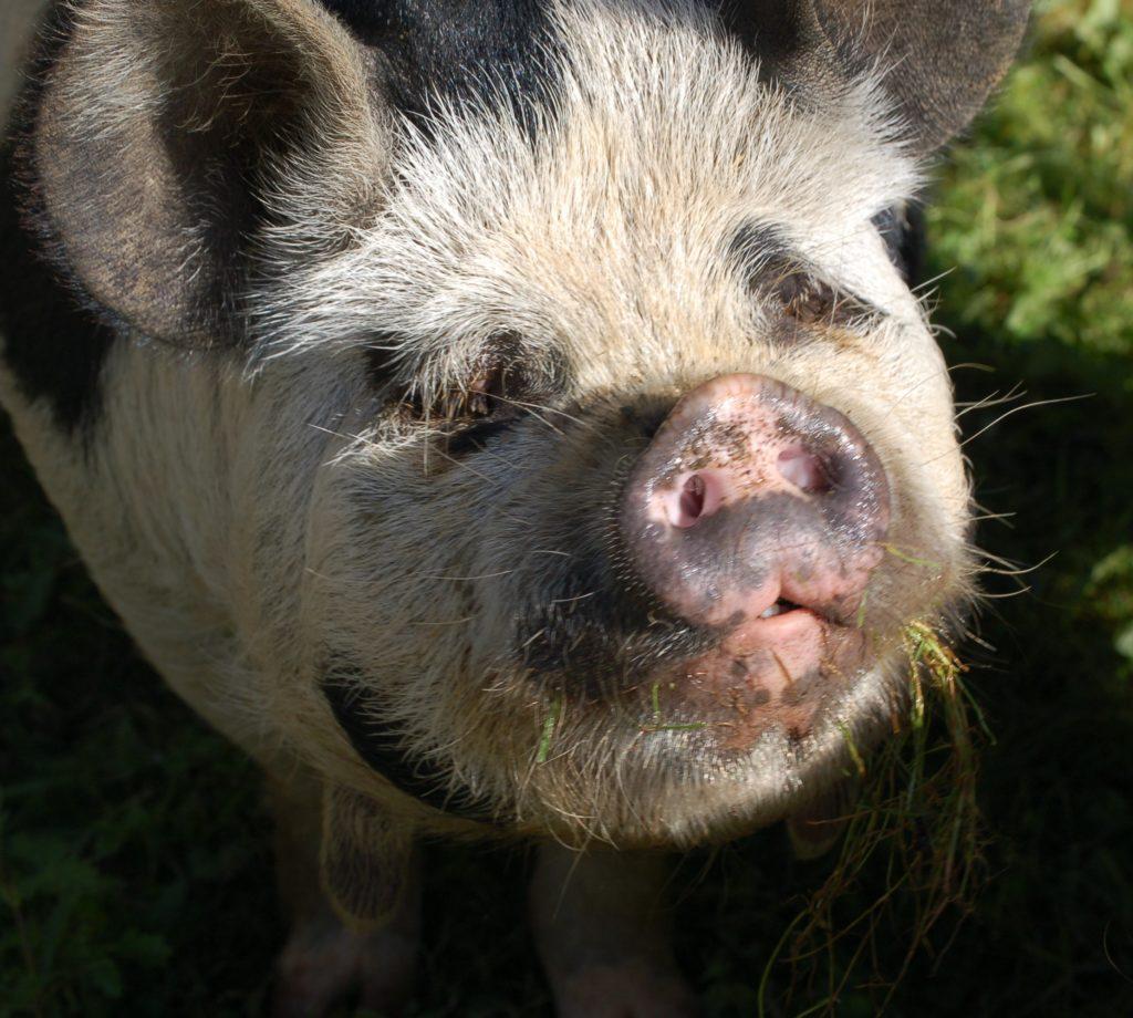 Image of Kunekune Pigs