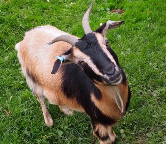 Image of Arapawa Goat
