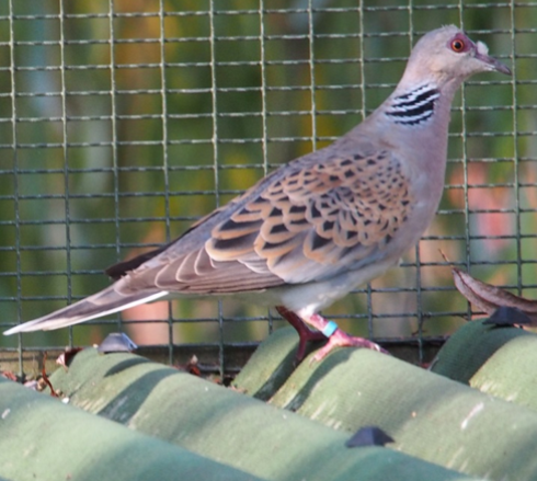Image of European Turtle Dove