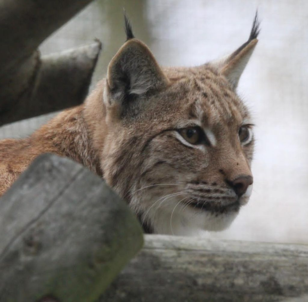 Image of Carpathian lynx